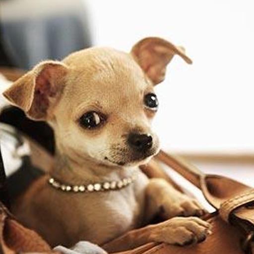 Chihuahua album icon