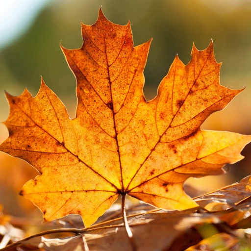 Autumn Leaf Wallpapers HD: Quotes Backgrounds with Art Pictures