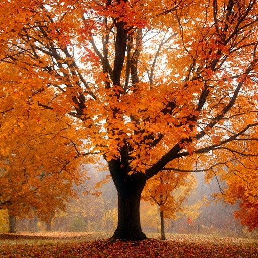 Autumn Tree Fall Wallpapers & Puzzles Ideas