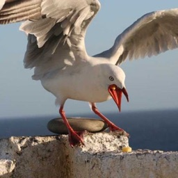 Seagull Sounds and Wallpapers: Theme Ringtones and Alarm