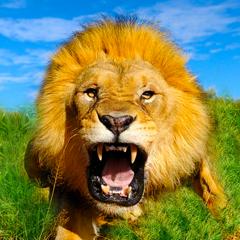 Wild Lion Simulator