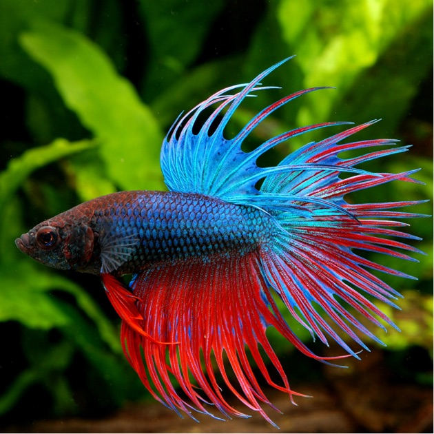 App store betta fish everything you want to know for Betta fish store
