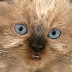 Talking Kitten