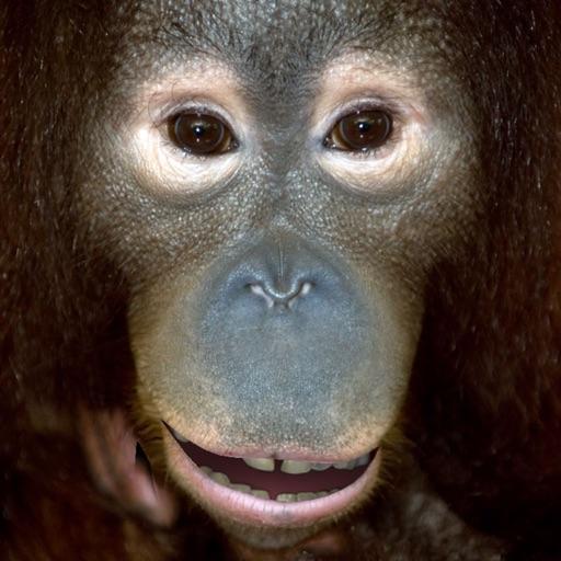 Talking Orangutan iOS App