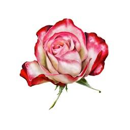 Roses and Flowers - Flower Art - Love, Friendship