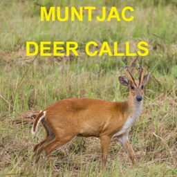 Muntjac Deer Calls Sounds for Big Game Hunting