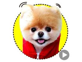 Boo The Happiest Dog