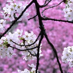 Sakura Wallpapers Japanese Cherry Blossom Flowers 4