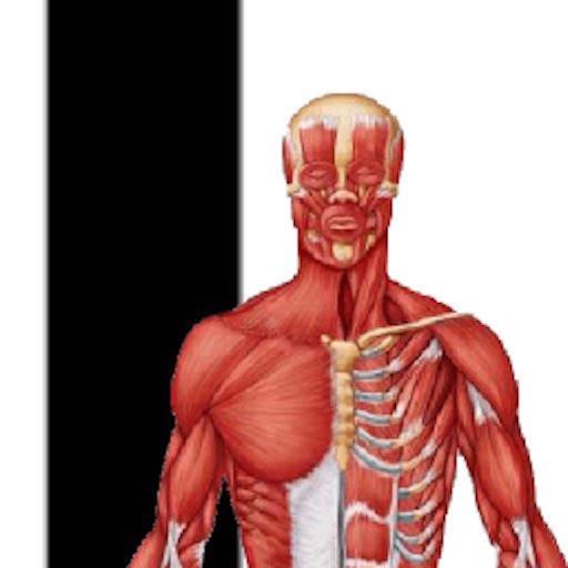 Muscle Premium - Human Anatomy, Kinesiology by ilya breyman