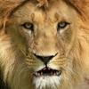 トーキング・ライオン