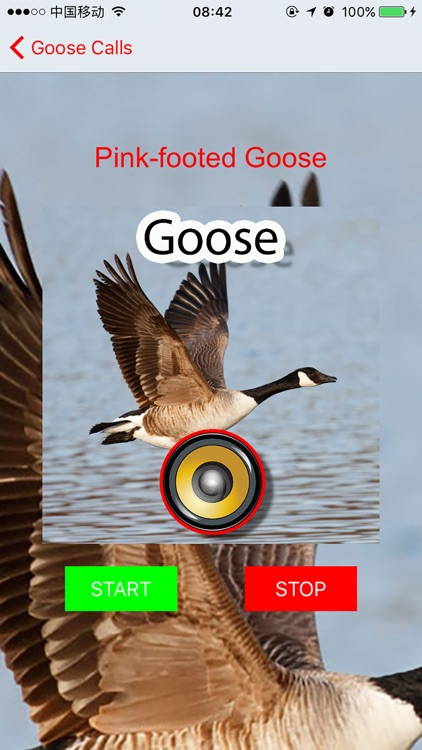 Real Goose Hunting Calls & Sounds